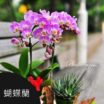 薰衣草花坊,蝴蝶蘭