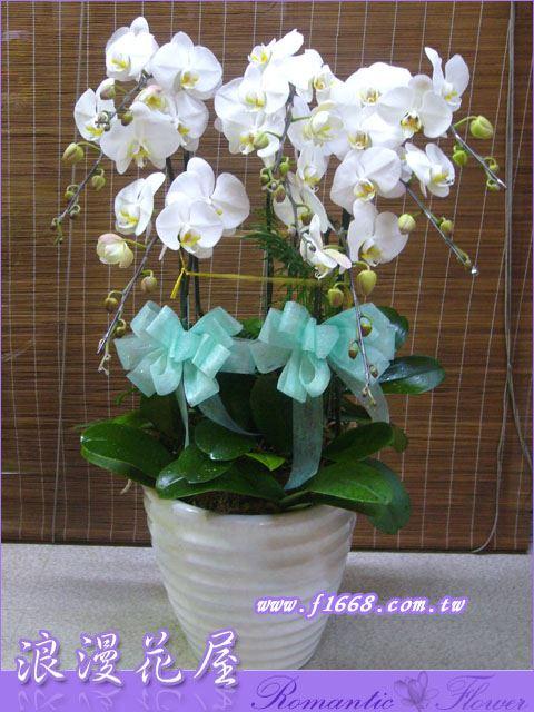D19白色高雅蝴蝶蘭