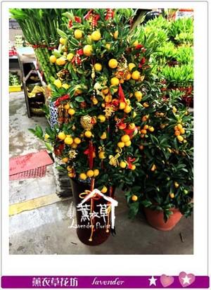 金桔樹 107012903