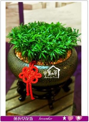 羅漢松盆栽c122910