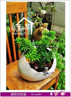 羅漢松組合盆栽 106090906