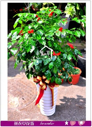 旺旺樹盆栽c101504