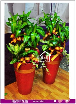 巴西盆栽A071912