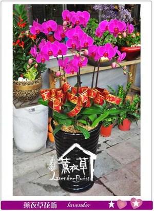 7株蝴蝶蘭 106101711