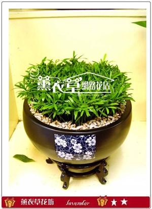 羅漢松盆栽y31109