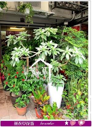 白水木盆栽y345031