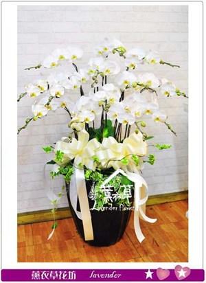 白色蝴蝶蘭禮盆B110803
