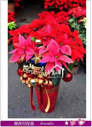 聖誕紅盆栽c121105