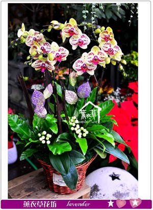 高雅蝴蝶蘭c111603