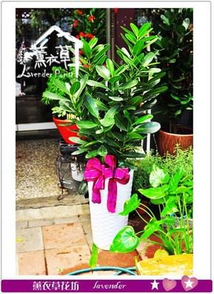 龍株盆栽 106090901