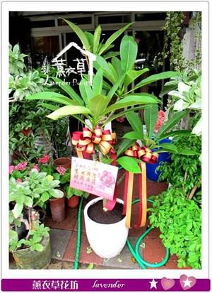 雞蛋花盆栽aa1165