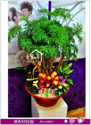 富貴樹盆栽a010818