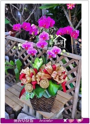 高雅蝴蝶蘭c090410