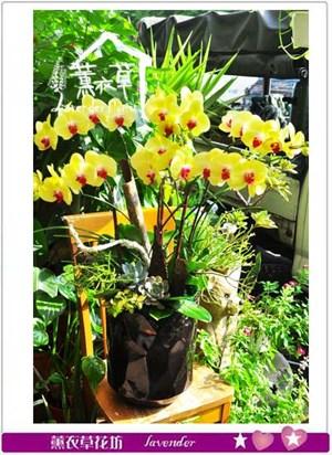 黃金蝴蝶蘭 106090820