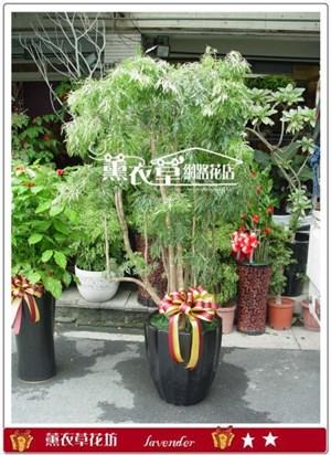 富貴樹盆栽c100302