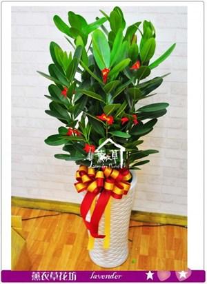 龍珠盆栽c100503