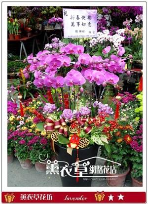 大型蝴蝶蘭12株y9597
