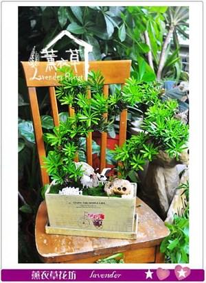 羅漢松組合盆栽B090902