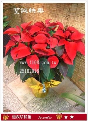 聖誕紅盆栽D207