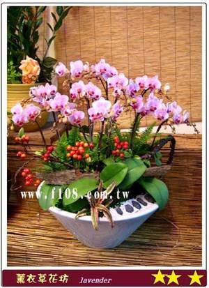 迷你蝴蝶蘭8朱A337