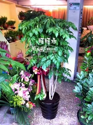 旺旺樹盆栽~新品~y20322