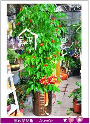 旺旺樹盆栽 106100209