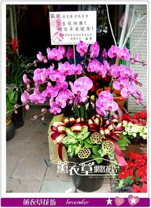 高雅蝴蝶蘭12朱y33010