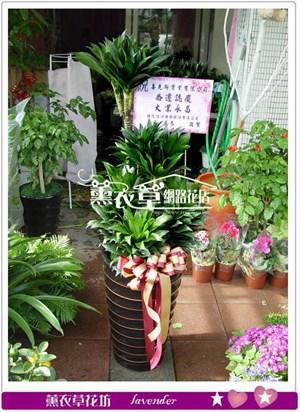 阿波羅盆栽y33633