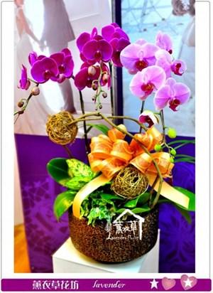 高雅蝴蝶蘭a012606