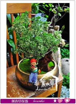 斑葉富貴樹 盆景106092106