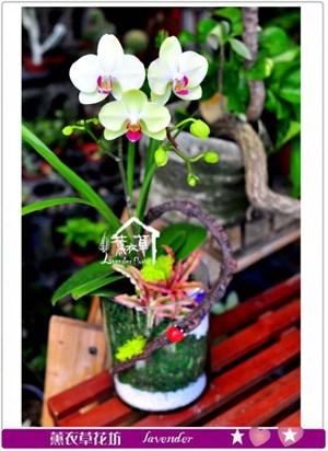 高雅蝴蝶蘭c093007