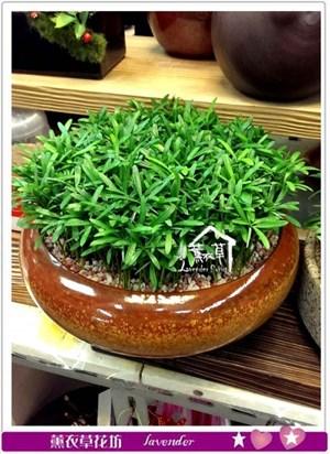 羅漢松盆栽c090203