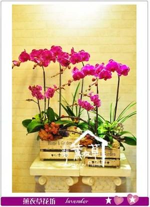 高雅蝴蝶蘭設計  106022405