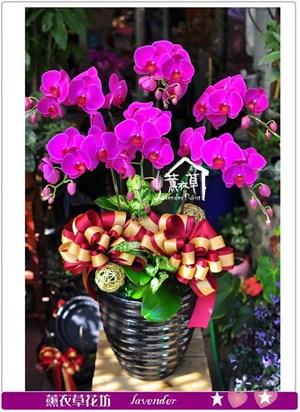 高雅蝴蝶蘭6茱c101610