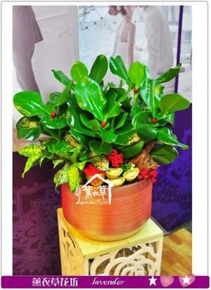 千名樹盆栽c110701
