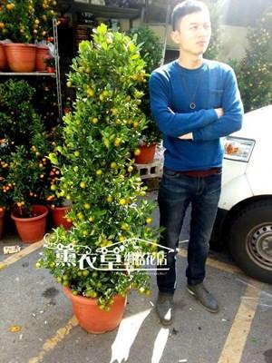 金桔樹~中y34029