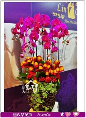 高雅蝴蝶蘭A120322