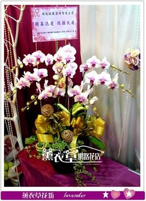 高雅蝴蝶蘭8朱y33597