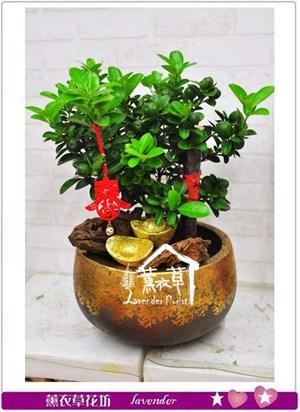 金桔樹B102908
