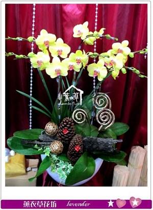 黃金蝴蝶蘭6朱c021859