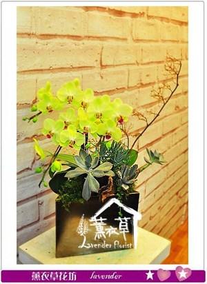 黃金蝴蝶蘭 106061310