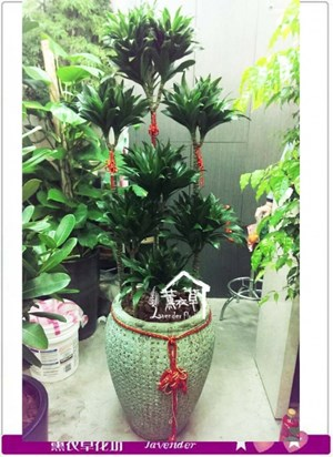 阿波羅盆栽a042115