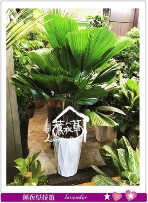 普葵盆栽 106081623