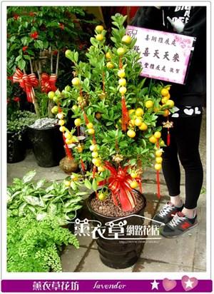 新年金桔樹y33645