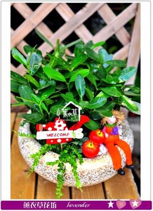 龍珠盆栽c081403