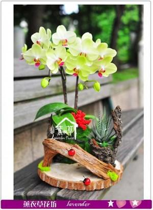黃金蝴蝶蘭b051309