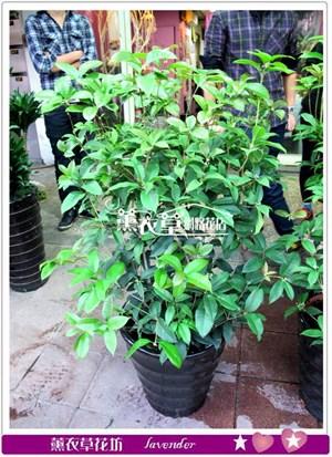 桂花盆栽y34408