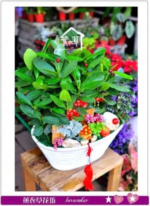 龍珠盆栽c102420