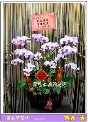 高雅蝴蝶蘭A573