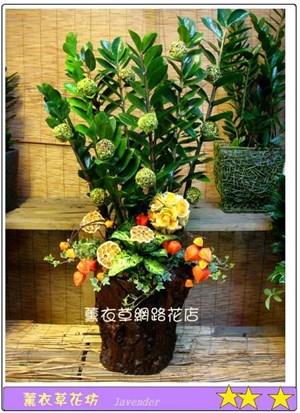 金錢樹盆栽D606